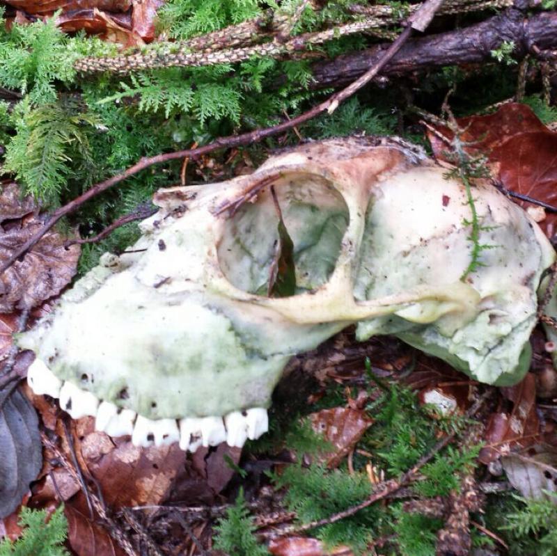 Schädel im Wald entdeckt - Von welchem Tier stammt er? (Tiere ...