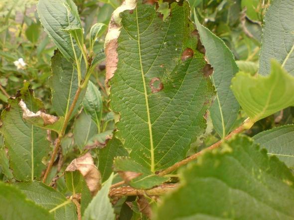 weigelie - (Pflanzen, Schädlinge)