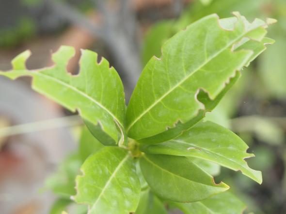 Beschädigte Blätter - (Garten, Pflanzen, Schädlinge)
