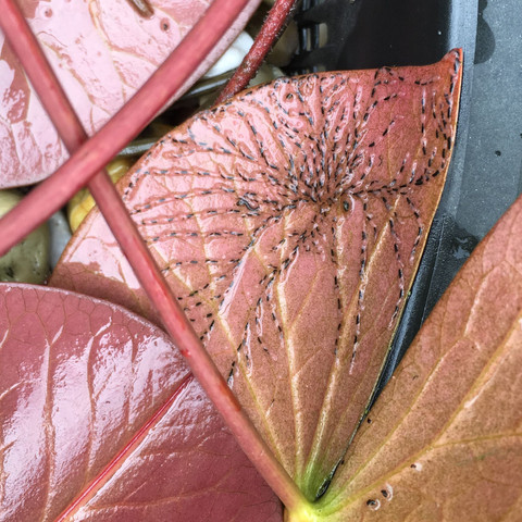 An der Seerose ist es noch nicht so schlimm wie bei den Krebsscheren - (Krankheit, Garten, Pflanzen)