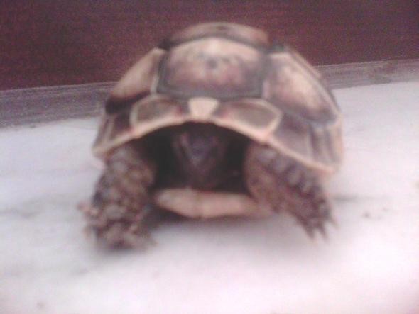 Schildkröte 1 - (Rasse, Schildkröten, Identifizierung)