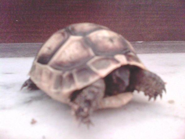 Schildkröte 2 - (Rasse, Schildkröten, Identifizierung)