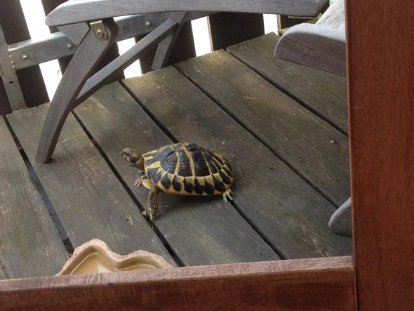 Schildi - (Schildkröten, Griechische Landschildkröte)
