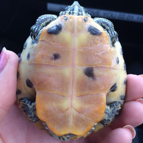 Was für Schildkröten sind das (Art, Rasse, Männchen oder Weibchen)?