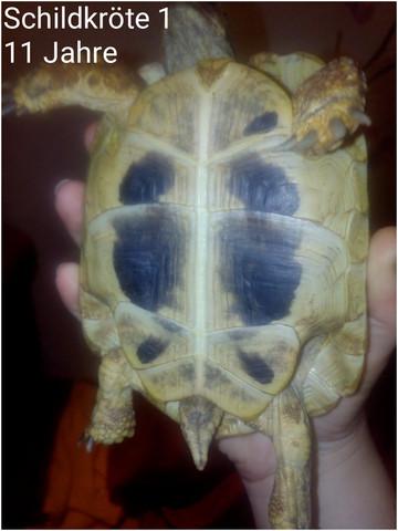 Schildkröten Geschlecht Griechische Landschildkröten 11 und 7 jahre ?