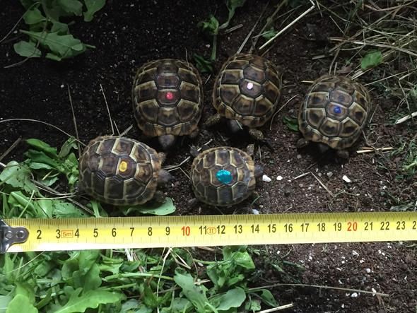 Schildkröten-Geschwister unterschiedlich groß?