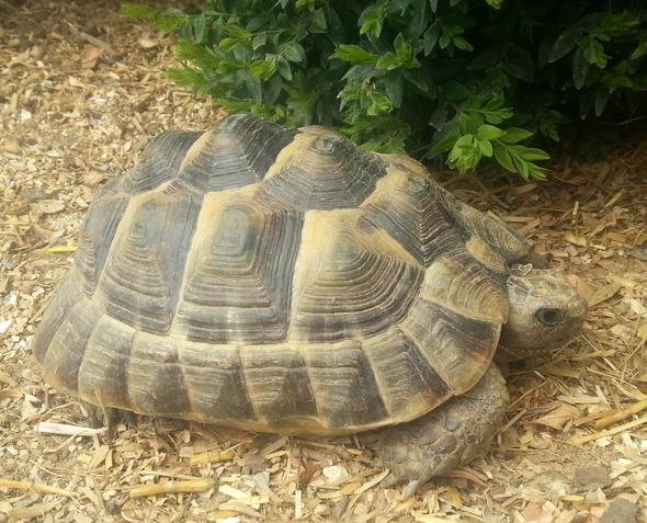 schildkröte - (Tiere, Rasse, Schildkröten)