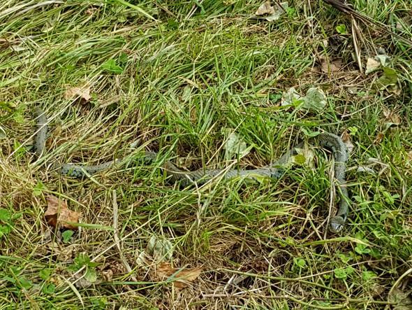 Schlange  - (Garten, Schlangen)