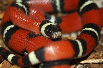 Königsnatter - (Tiere, Augen, Schlangen)