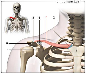 Schmerzen im Hals / Schlüsselbein? (Gesundheit, Krankheit