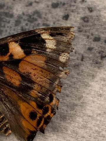 Schmetterling Krankheit?