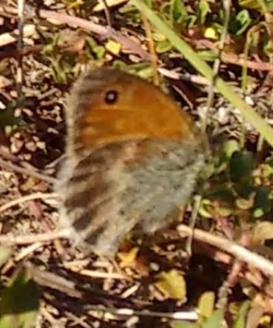 """Schmetterlinge """"züchten"""" und in die Umwelt entlassen.. wäre das ein Beitrag zur """"Genesung"""" der Natur?"""