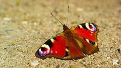 Fuchsauge - (Wohnung, Schmetterling)