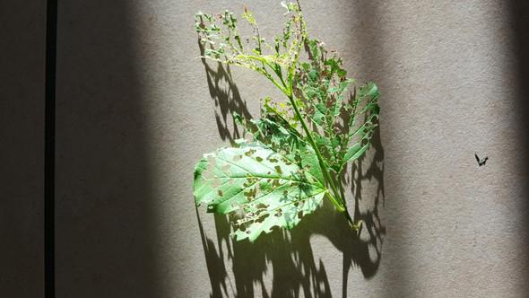 schneeball pflanze v llig durchl chert welcher sch dling k nnte das sein garten pflanzen. Black Bedroom Furniture Sets. Home Design Ideas