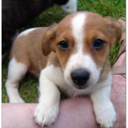 So sieht der kleine aus - (Hund, Welpen, Jack-Russel-Terrier)