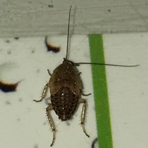 Schon wieder kakerlake was tun tiere natur insekten - Insekten im zimmer was tun ...