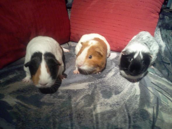 Merle, Peach & Frisbee (v.l.n.r.) - (Angst, Verhalten, Meerschweinchen)