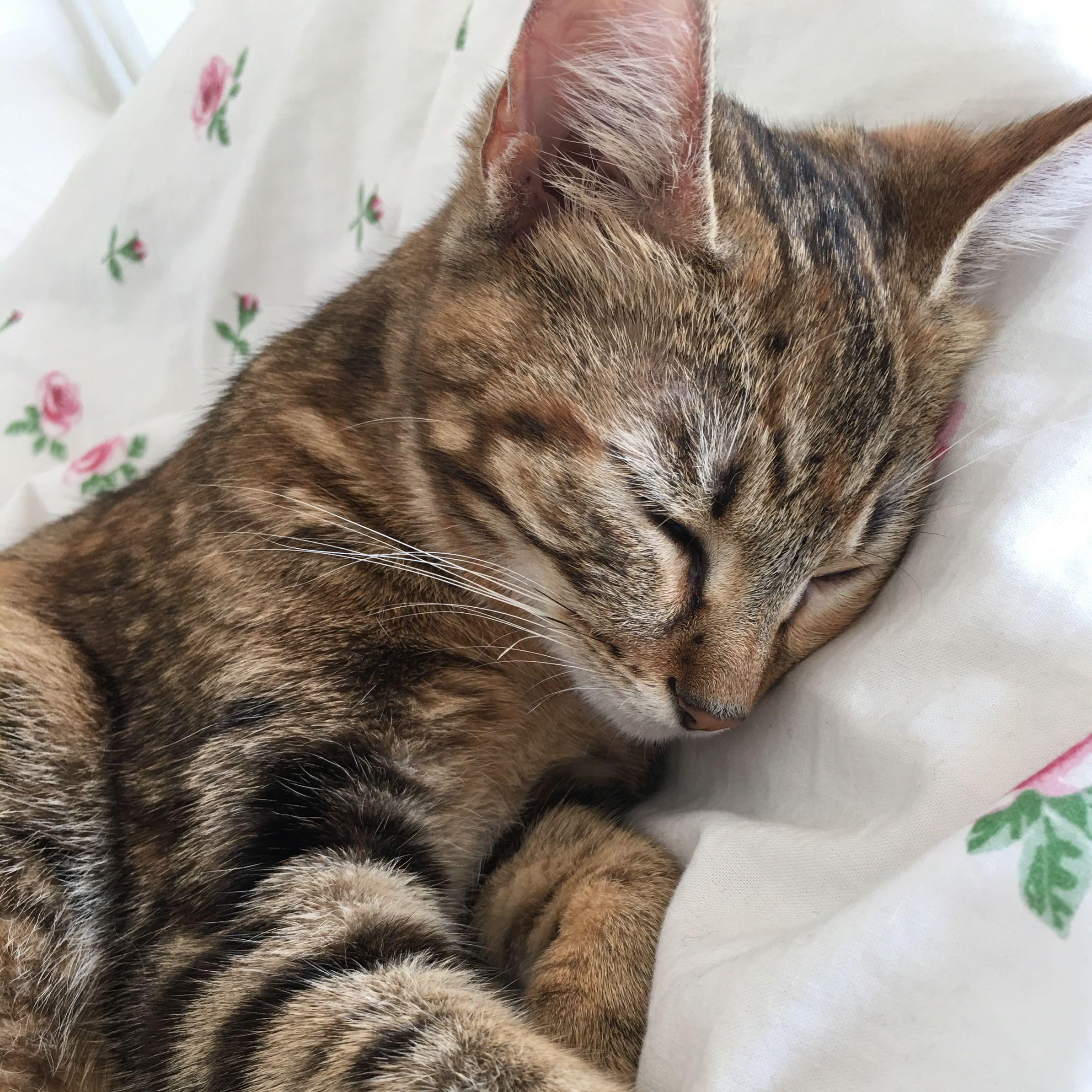 Katzen Schwanger