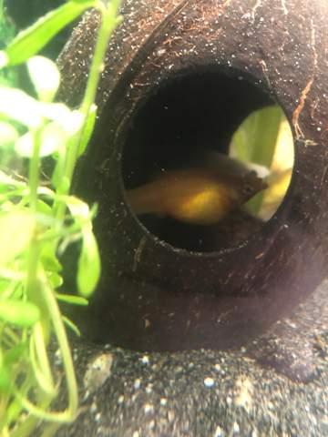 Schwangeren Molly in 7l Aquarium machen?