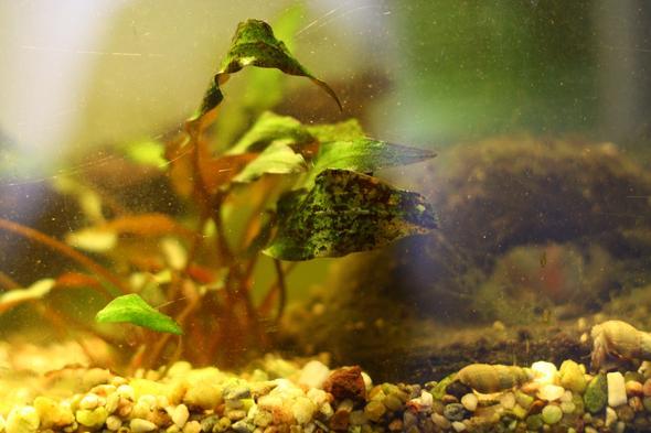 schwarze algen auf aquariumpflanzen aquarium aquaristik. Black Bedroom Furniture Sets. Home Design Ideas