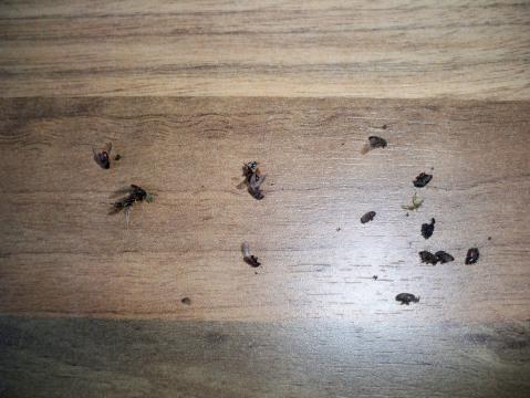 schwarze fliegende k fer fliegen insekten entz ndung. Black Bedroom Furniture Sets. Home Design Ideas