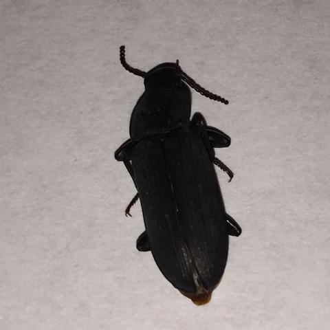 Käfer aus Bar - (Haus, wohnen, Insekten)