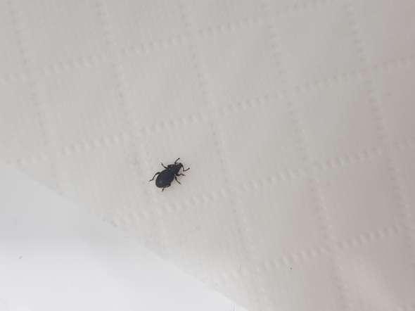 - (Insekten, Schädlinge, Käferart)