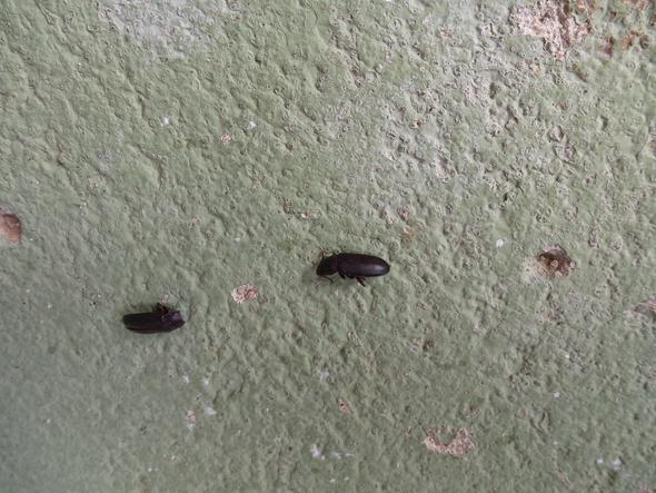 Käfer 2  - (Wohnung, Insekten, Kaefer)