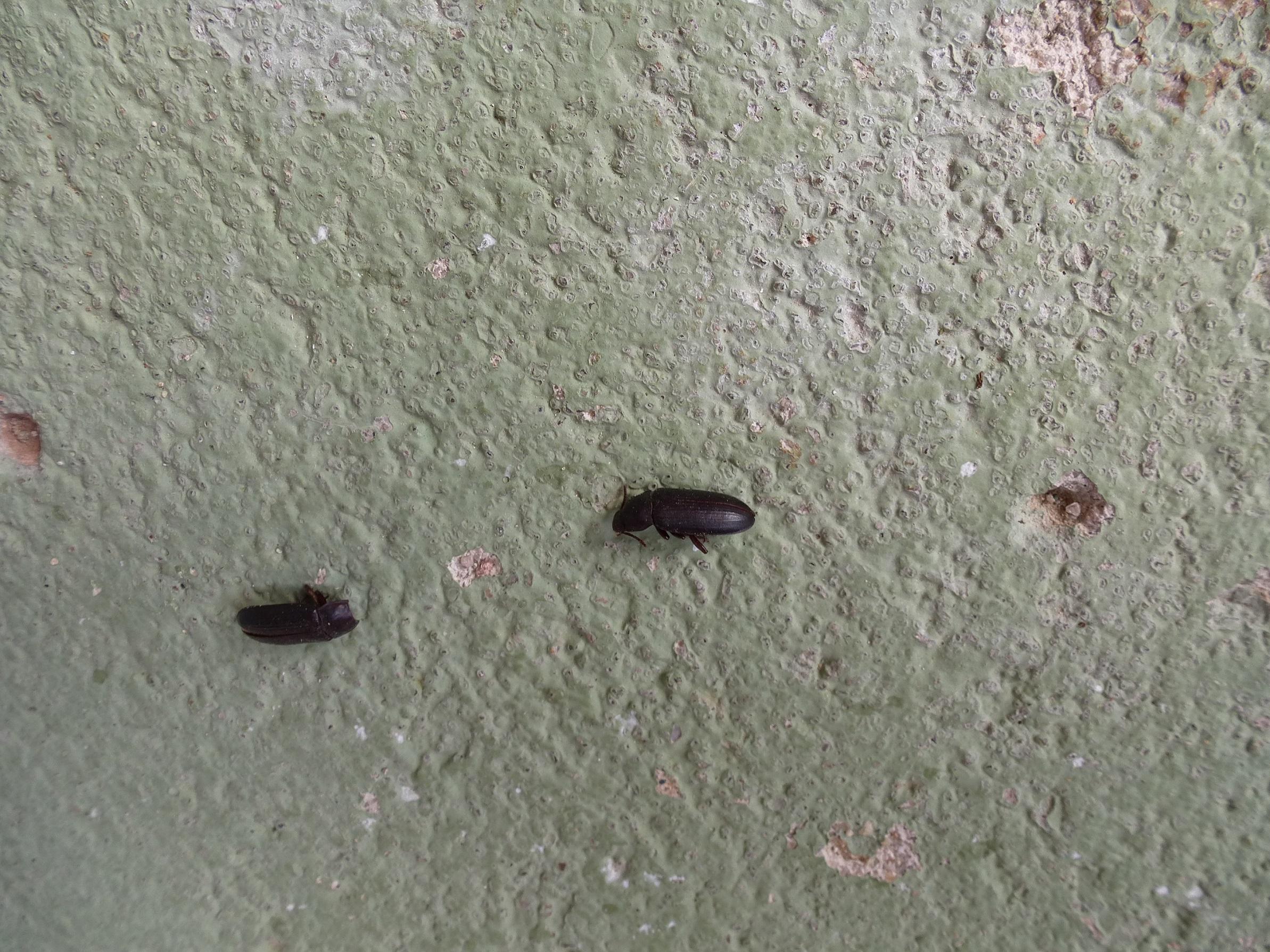 Schwarze Käfer In Der Wohnung, Wer Kennt Sie? (Insekten .
