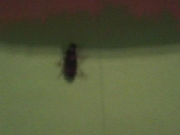 Schwarze k fer lassen sich nicht vernichten d d insekten for Fliegen in blumenerde vernichten