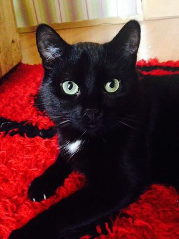 Carlo  - (Katze, schwarz, Flecken)