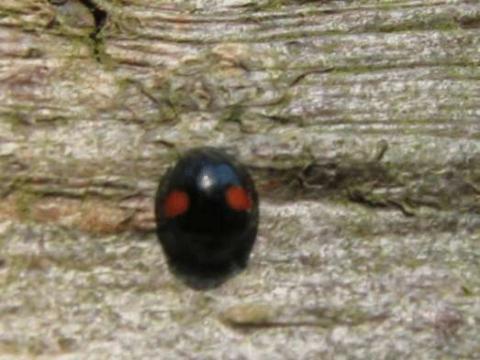 schwarze marienk fer mit 4 roten punkten biologie giftig nicht giftig. Black Bedroom Furniture Sets. Home Design Ideas