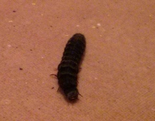 schwarze raupen larven im keller haus gutwohnen raupe. Black Bedroom Furniture Sets. Home Design Ideas