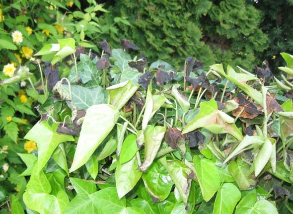 Schwarze, wie verbrannte,  Efeuhecke heute in unserem Garten entdeckt.?
