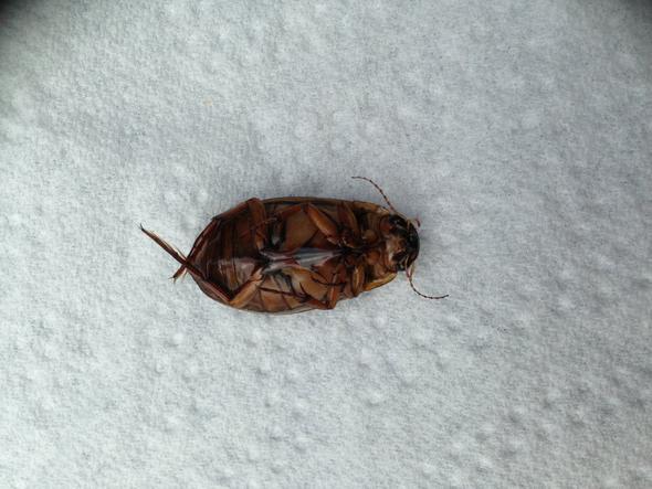 Käfer von unten - (Freizeit, Bestimmung, schwarzer-kaefer)