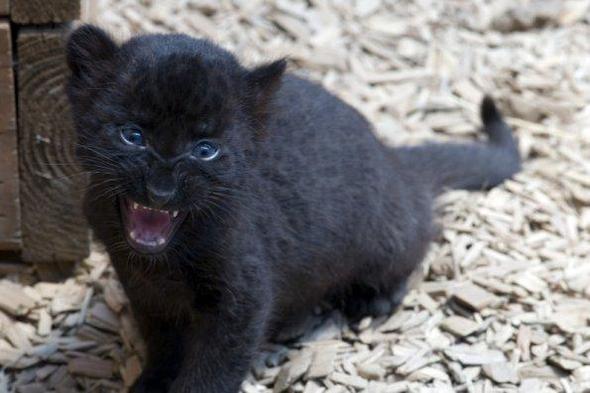 schwarzer puma als haustier so etwas wie ne riesen katze tiere katzen. Black Bedroom Furniture Sets. Home Design Ideas
