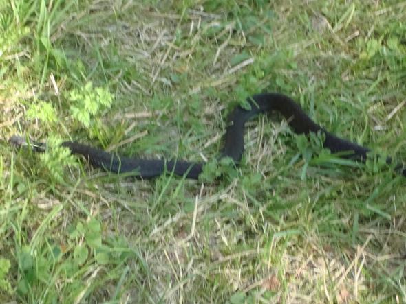 Schlange im südschwedischen Wald (Nähe Orrefors) - (Tiere, Schlangen, Schweden)