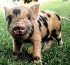 Schweinchen Islam?