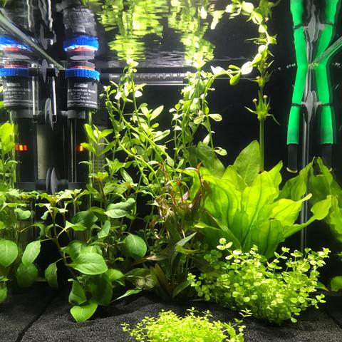 schwertpflanze ableger aquarium abschneiden. Black Bedroom Furniture Sets. Home Design Ideas