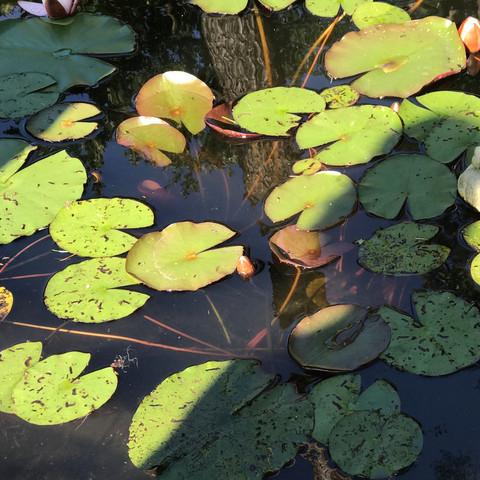 Die befallenen Blätter.  - (Wasser, Pflanzen, Fische)
