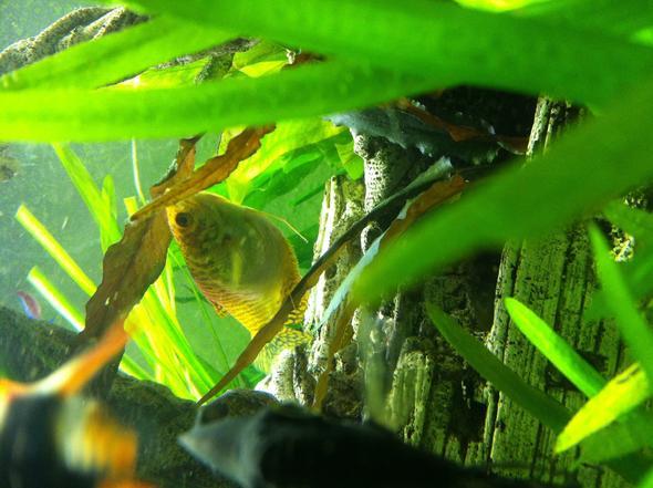 Fadenfisch - (Krankheit, Fische, Aquaristik)