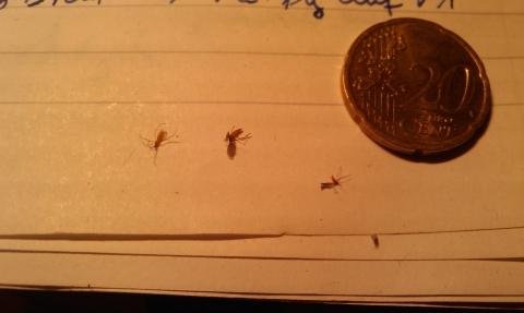 sehr kleine fliegen im zimmer tipps ungeziefer fliege. Black Bedroom Furniture Sets. Home Design Ideas