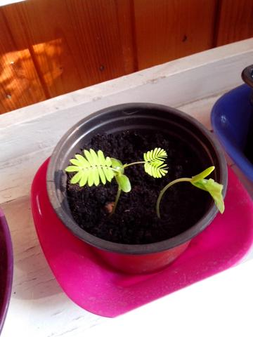 Akazie - (Pflanzen, Botanik, seidenakazie)