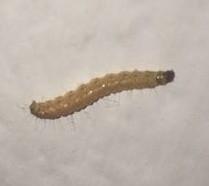 seit 2 tagen kleine w rmer larven an den w nden im schlafzimmer haustiere insekten k fer. Black Bedroom Furniture Sets. Home Design Ideas