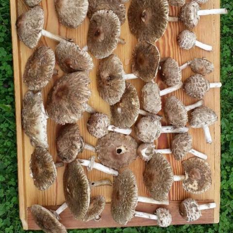 Pilze im Überblick - (Pilze, Schwammerl, Aufbewahrungszeit Pilze)
