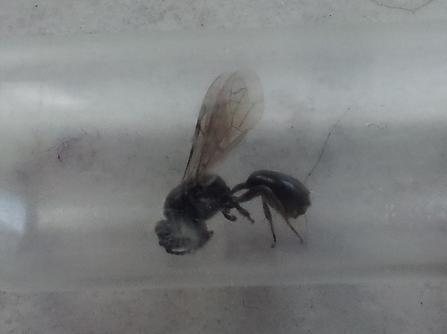 Holz-fressende Fliege - Bild 2 - (fliegen, Insekten, Holz)