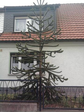 Gemeinsame Seltsamer Nadelbaum? (Pflanzen, Natur, Baum) @TY_19