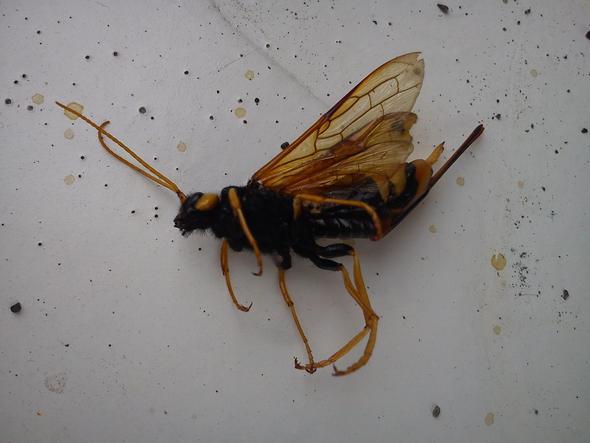 Seltsames Insekt - (Insekten, nie gesehen)