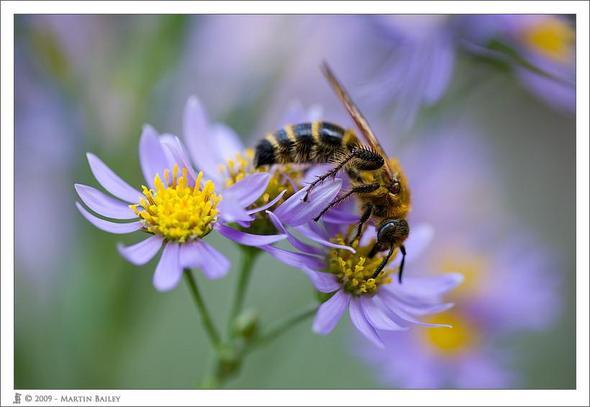 """""""Shion"""" plus Biene :) - (Pflanzen, Blumen, japanisch)"""
