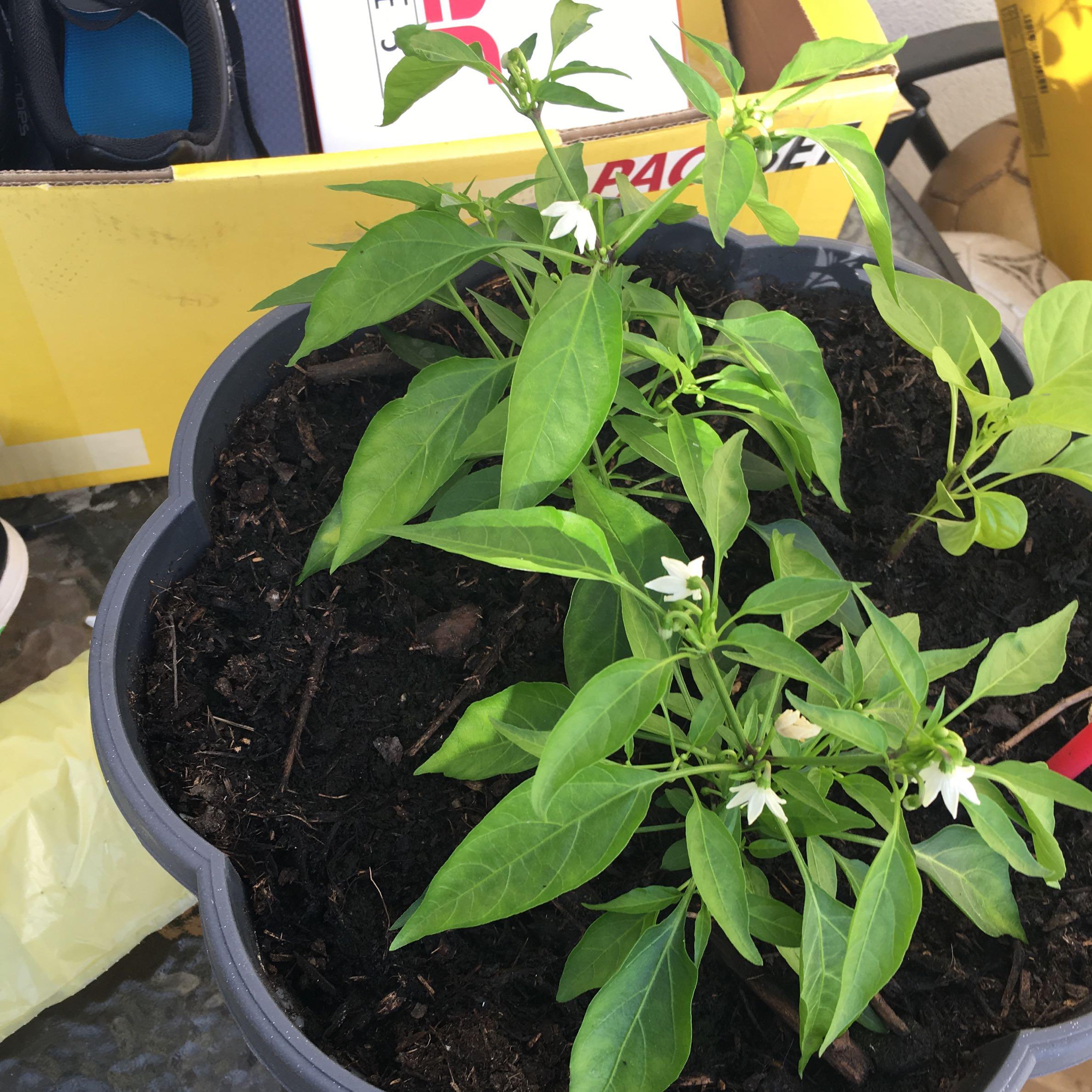 sieht das aus wie es soll chilli pflanze pflanzen chili